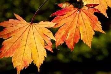 怎样防治红枫盆景叶片由红变绿