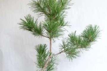 图解 黑松盆景牺牲枝怎么修剪的技巧