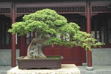 榔榆盆景怎么施肥上盆的3个方法