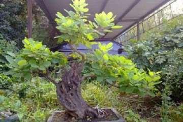 种植黄栌盆景怎么用盆的方法 图片