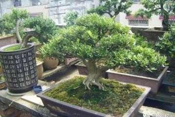 黄杨盆景移植后怎么上盆造型的方法
