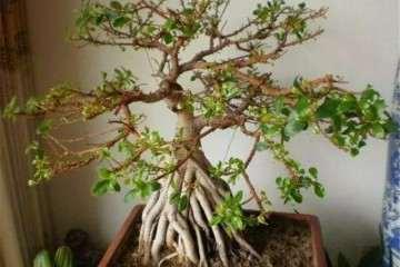 榕树盆景怎么制作提根造型的3个方法