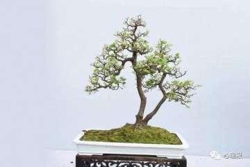 什么树可以制作盆景最好 榆树和石榴