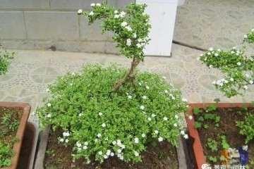 六月雪盆景在春季的种植技巧