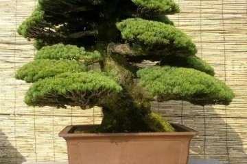 山松盆景怎么嫁接的3个方法 图片