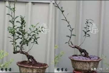 图解 金豆盆景怎么养根的方法