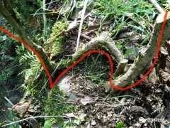 图解 黄杨盆景下山桩弯一弯 价格翻几番