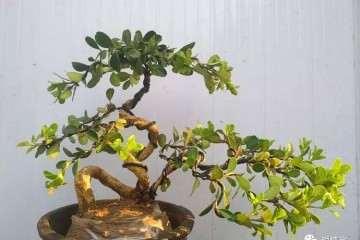 黄杨树盆景花盆 土壤与怎么上盆