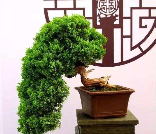 树木盆景怎么摘芽修剪的方法