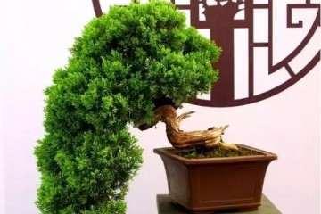 树木盆景怎么摘芽修剪的方法 图片