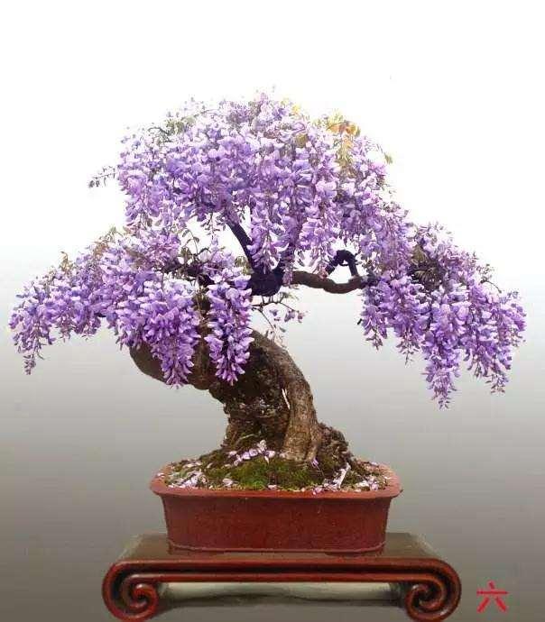 紫藤盆景怎么日程修剪的方法