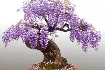紫藤盆景怎么日程修剪的方法 图片