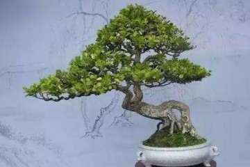 杨树盆景怎么剪枝和造型设计