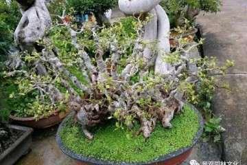 榕树盆景根枝怎么增粗的3个方法