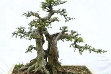 榆树盆景怎么留枝的技巧 图片