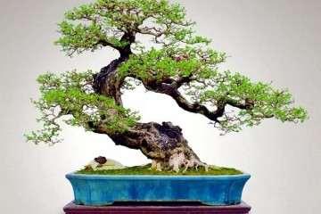 10年小叶黄杨盆景市场价格为4000元左右