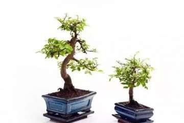家里的榆树盆景怎么施肥最好 图片