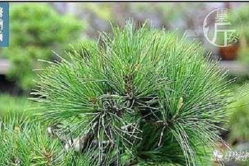 图解 夏季五针松盆景怎么养护的技巧