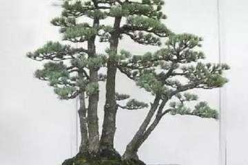 了解我国的盆景市场为何要看日本的市场呢