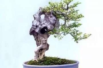 哪些树木适合制作附石盆景呢 图片
