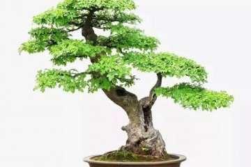 榆树盆景在夏天怎么浇水的方法