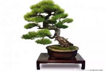 图解 赤松盆景怎么造型的方法