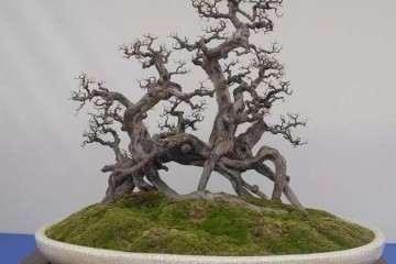 岭南盆景怎么截干蓄枝的方法 图片