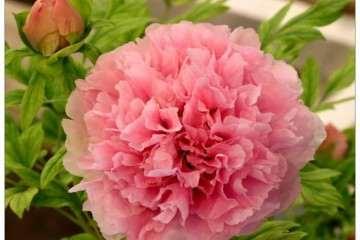 盆花盆景常用的有机肥有哪些