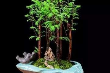 水杉盆景怎么养护的3个注意事项
