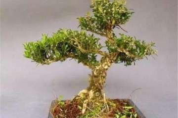 怎么修剪树木盆景的2个方法