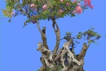紫薇盆景在夏季怎么修剪的方法