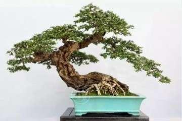 购买的花木盆景不要急着浇水