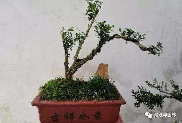 3个雀舌黄杨小品盆景