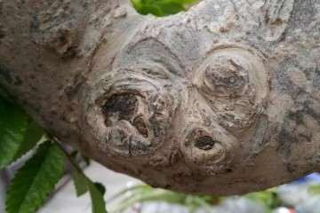 怎么在榆树盆景发芽时制作疙瘩的方法