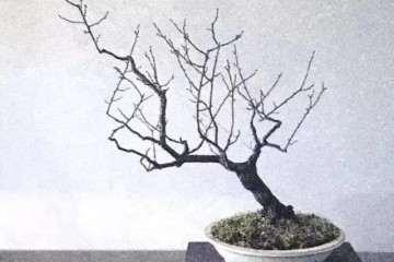 图解 文人树梅花盆景怎么创作的方法