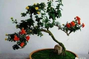 菊花盆景怎么制作的过程 图片
