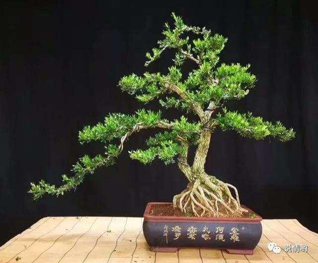 黄杨盆景有什么养护要点