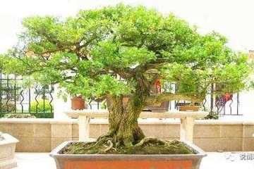 黄杨盆景发芽后怎么浇水养护的要点