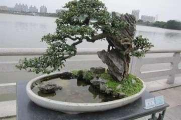 岭南盆景的干枝根的不断截蓄的过程