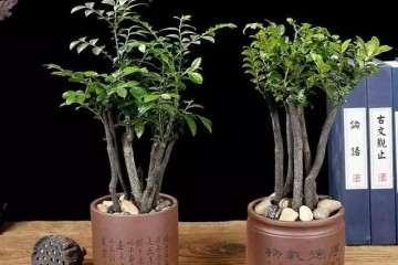 小叶紫檀盆景换盆后大量掉叶子?