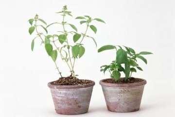 图解 青枫盆景怎么播种发芽的方法
