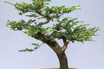 夏季养护黄杨盆景怎么施肥的方法