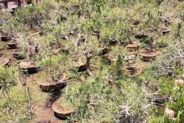 怎么在山坡上栽培的黑松盆景的方法
