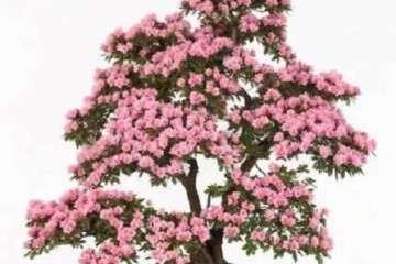 夏季怎么修剪杜鹃花盆景的方法