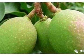 芒果盆景怎么养护 教你养殖小技巧