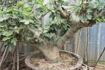 怎么制作无花果盆景树的方法 图片