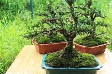 黄杨盆景萌芽制作必须要掌握的五个方法