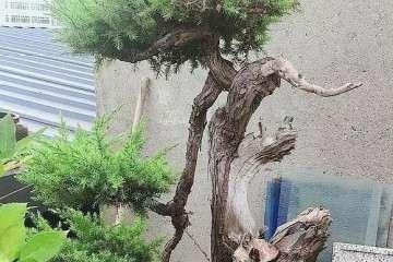 专门来养盆景树 随便一盆都是超10年老桩