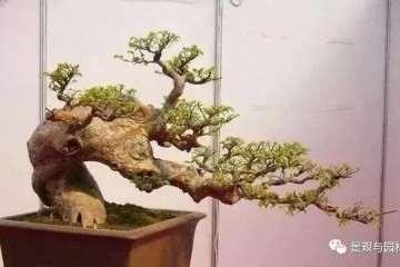 榆树盆景怎么修剪制作的小技巧