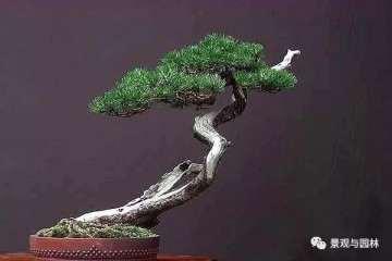 松树盆景怎么修剪新芽的方法 图片
